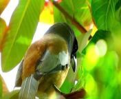 The rufous treepie (Dendrocitta vagabunda) is a treepie, native to the Indian Subcontinent and adjoining parts of Southeast Asia. It is a member of the crow family, Corvidae. It is long tailed and has loud musical calls making it very conspicuous. It is found commonly in open scrub, agricultural areas, forests as well as urban gardens. Like other corvids it is very adaptable, omnivorous and opportunistic in feeding.